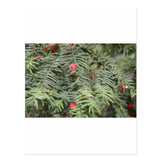 Yew tree, Milan, Italy Postcard