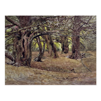 Yews in the Old Yew Wood Postcard