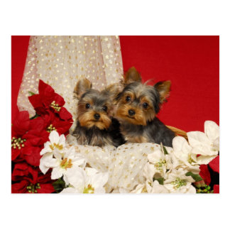 Yorkie puppies with Poinsettias Postcards