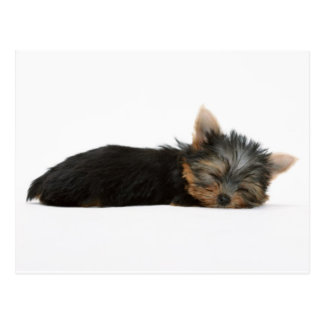 Yorkie Puppy Sleeping Postcard