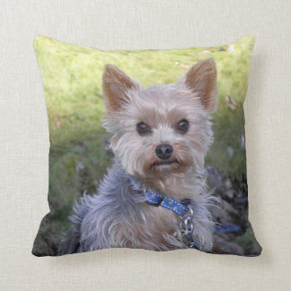Yorkie with blue collar cushion