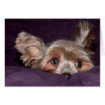 Yorkshire Terrier Cards