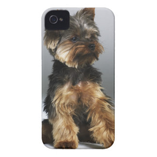 Yorkshire terrier, close-up Case-Mate iPhone 4 case