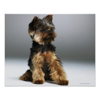 Yorkshire terrier, close-up poster