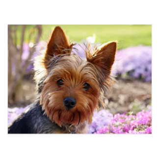 Yorkshire Terrier dog beautiful photo postcard