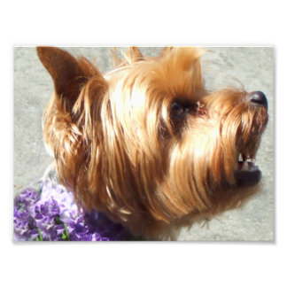 Yorkshire Terrier dog Photographic Print
