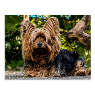 Yorkshire Terrier dog Postcard