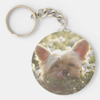 Yorkshire Terrier Laying in Sun licking lips Key Ring