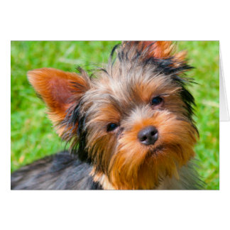 Yorkshire Terrier looking up Card