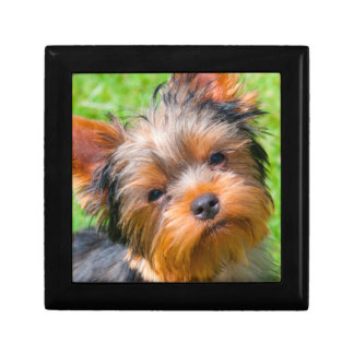 Yorkshire Terrier looking up Gift Box