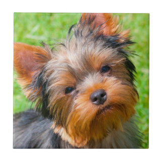 Yorkshire Terrier looking up Tile