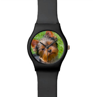 Yorkshire Terrier looking up Watch