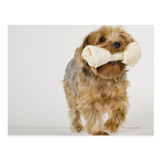 Yorkshire Terrier on white background walking Postcard