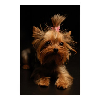 Yorkshire Terrier Portrait Poster