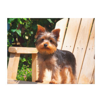 Yorkshire Terrier standing on wooden chair Canvas Print