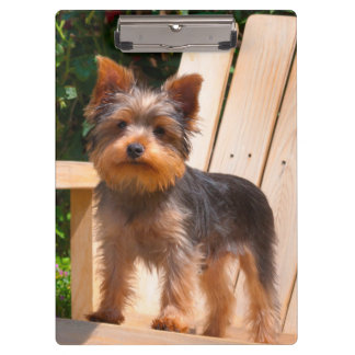 Yorkshire Terrier standing on wooden chair Clipboard