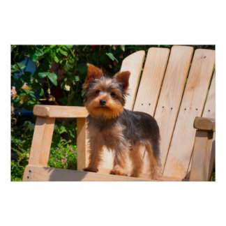 Yorkshire Terrier standing on wooden chair Poster