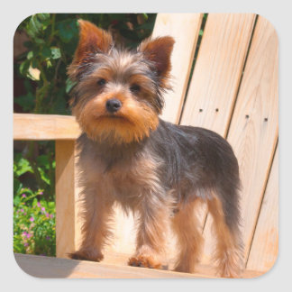Yorkshire Terrier standing on wooden chair Square Sticker