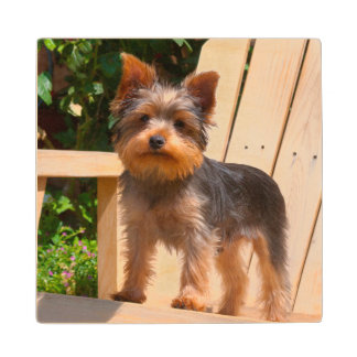 Yorkshire Terrier standing on wooden chair Wood Coaster