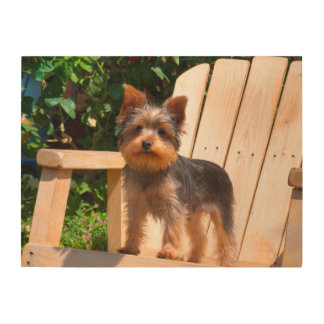 Yorkshire Terrier standing on wooden chair Wood Prints