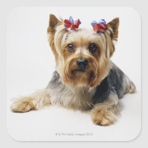 Yorkshire terrier wearing red bows sticker