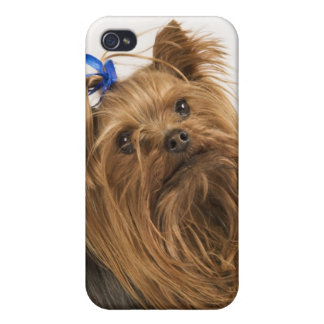 Yorkshire Terrier / Yorkie. Lively breed of iPhone 4 Cover