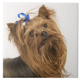 Yorkshire Terrier / Yorkie. Lively breed of Large Square Tile