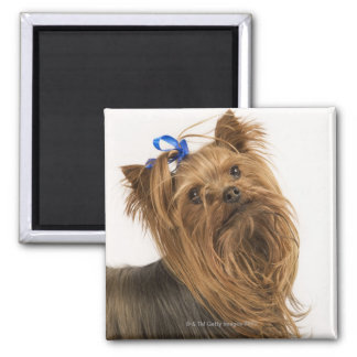Yorkshire Terrier / Yorkie. Lively breed of Magnet