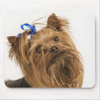 Yorkshire Terrier / Yorkie. Lively breed of Mouse Pad
