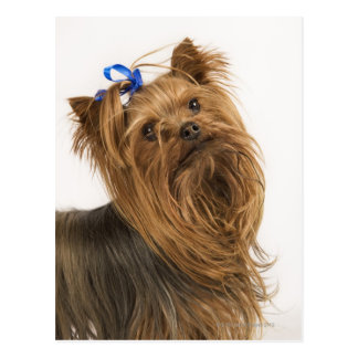 Yorkshire Terrier / Yorkie. Lively breed of Postcard