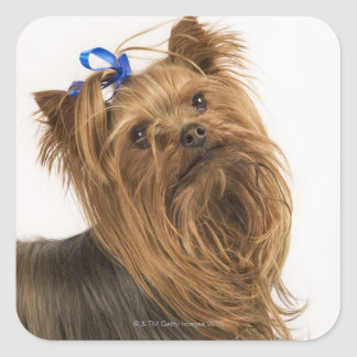 Yorkshire Terrier / Yorkie. Lively breed of Square Sticker