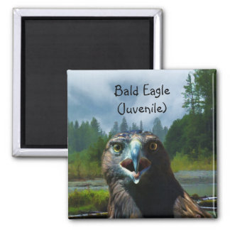 Young Bald Eagle and Misty Alaskan River Square Magnet