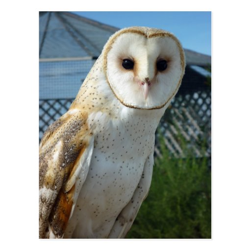 Young Barn Owl Postcard