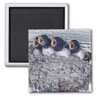 young barn swallows square magnet