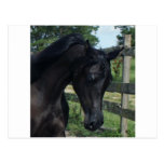 Young Black Arabian Stallion Postcards