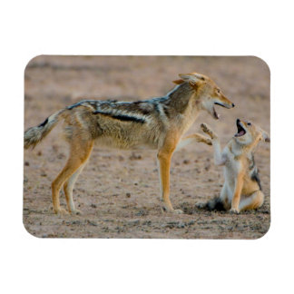 Young Black Backed Jackal (Canis Mesomelas) Pup Magnet