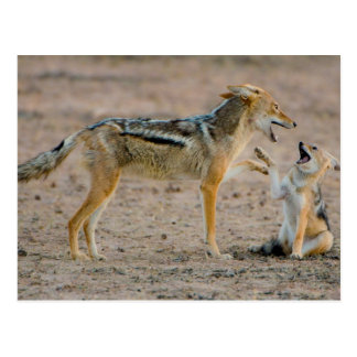Young Black Backed Jackal (Canis Mesomelas) Pup Postcard