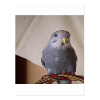 young blue budgie pillow postcard