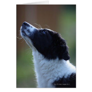 Young Border Collie Card