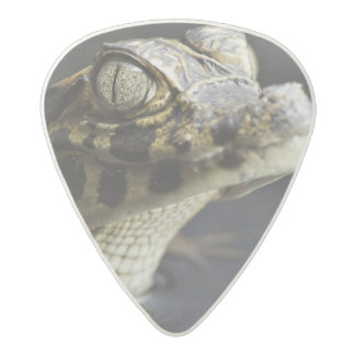 Young cayman in water with reflection acetal guitar pick