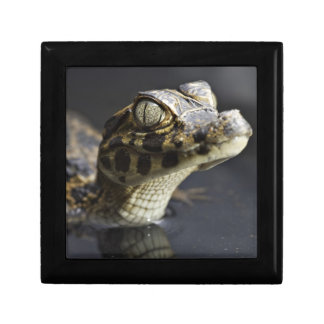 Young cayman in water with reflection gift box