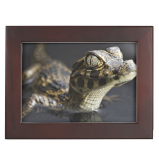 Young cayman in water with reflection keepsake box