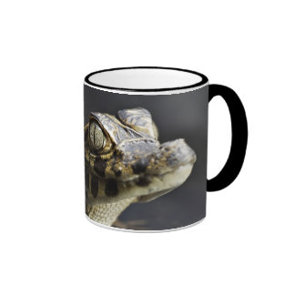 Young cayman in water with reflection mugs
