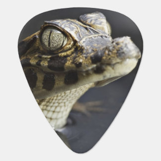 Young cayman in water with reflection plectrum