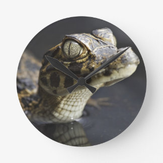 Young cayman in water with reflection round clock