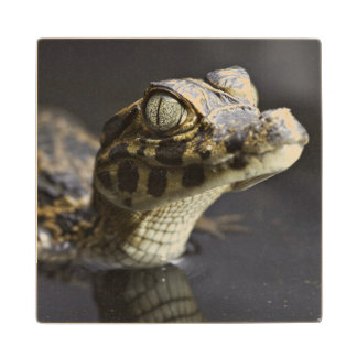 Young cayman in water with reflection wood coaster