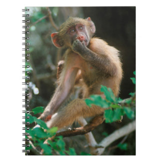 Young Chacma Baboon (Papio Ursinus) Sitting Notebook