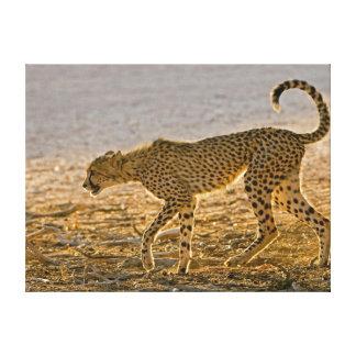 Young Cheetah (Acinonyx Jubatus) Stalks Gallery Wrap Canvas