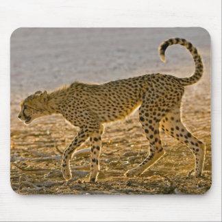 Young Cheetah (Acinonyx Jubatus) Stalks Mouse Mat