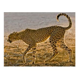 Young Cheetah (Acinonyx Jubatus) Stalks Postcard